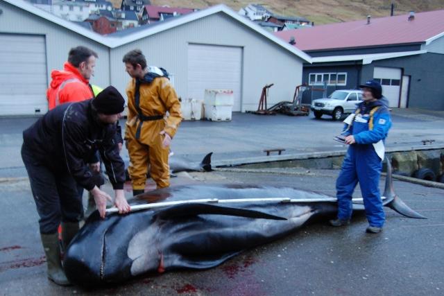 Opmåling af fangsten i Fuglafjørður. Foto: Fagpressen.eu